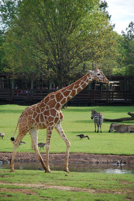 Montgomery Z00, Montgomery, Alabama- giraffe