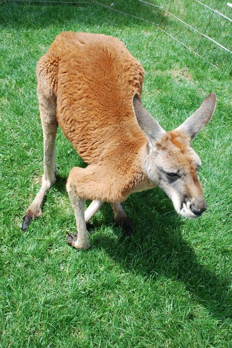 Montgomery Z00, Montgomery, Alabama- Red Kangaroo enjoying the sunshine on zoo weekend